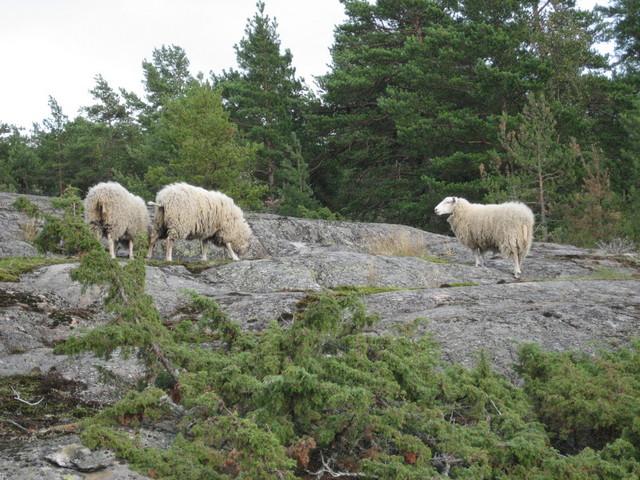 Lampaita Höglandissa.