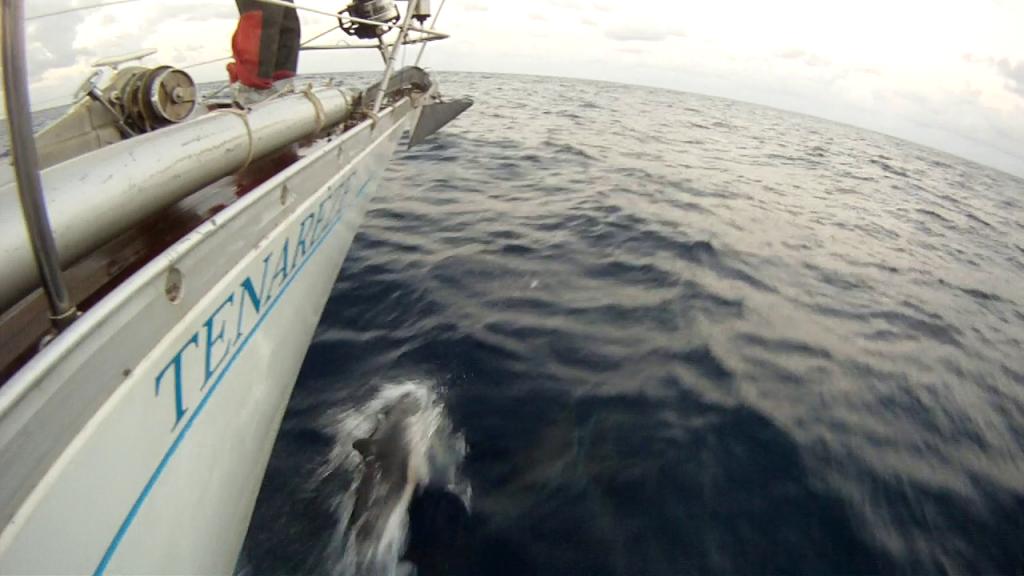 Delfiinejä Atlantilla